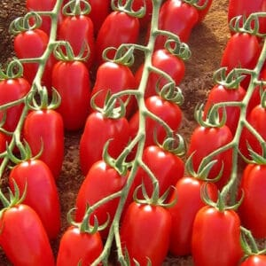 Seminte Tomate TRILLY F1
